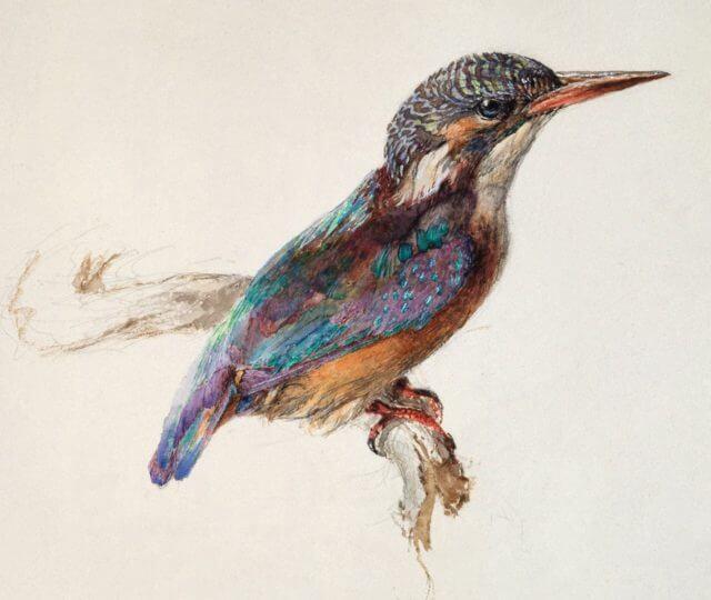 Dibujo y acuarela de un Martín pescador realizado por John Ruskin.